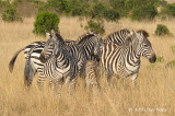 Zebra, Plains