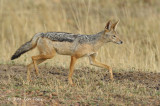 Jackal, Black-backed (adult)