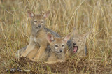 Jackal, Black-backed (pups)