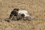 Wildebeest (skull)
