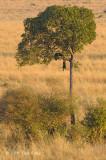 Leopard (kill - hanging in tree)