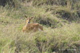 Reedbuck, Bohor (female)
