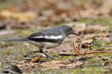 Robin, Oriental Magpie @ Telecom Loop