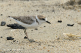 Plover, Malaysian (1st summer male)