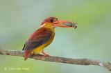 Kingfisher, Rufous-backed