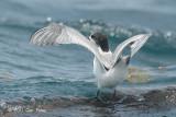 Tern, Common @ Singapore Straits