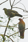 Pigeon, Cinnamon-headed Green @ Ubin
