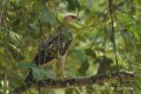 Eagle, Changeable Hawk (pale morph)