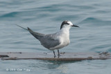 Tern, Aleutian @ Straits of Singapore