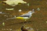 Wagtail, Grey @ Central Cachment