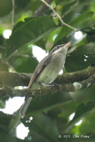 Woodshrike, Large (female)