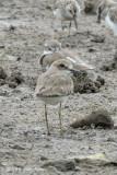 Plover, Greater Sand @ Sungei Buloh
