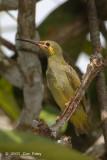 Spiderhunter, Yellow-eared