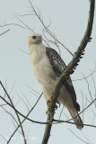 Eagle Eagle, Changeable Hawk (juv pale morph) @ Changi