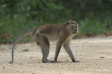 Macaque, Long-tailed
