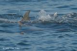Humpback & Bottlenose Dophins @ Straits of Singapore