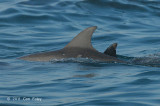 Indo-pacific Bottlenose Dolphin @ Straits of Singapore