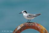 Tern, Little (non-breeding) @ Straits of Singapore