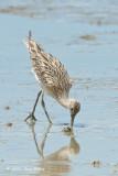 Curlew, Eurasian @ Parit Jawa