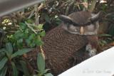 Owl, Barred Eagle (female)