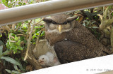 Owl, Barred Eagle (female & chick)