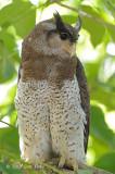 Owl, Barred Eagle Owl (female)