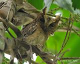 Owl, Sunda Scops (adult) @ Pasir Ris Park