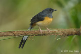 Shama, White-rumped (female) @ Bukit Tinggi