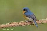 Flycatcher, Hill Blue