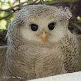 Owl, Barred Eagle (chick)