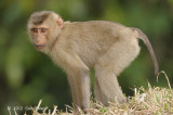 Macaque, Northern Pig tailed (young) @ Khao Yai