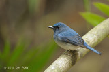 Flycatcher, Hainan Blue (male) @ Khao Yai