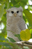 Owl, Barred Eagle (fledgling)