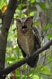 Owl, Sunda Scops @ Pasir Ris Park