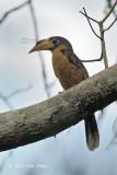 Hornbill, Tickell's Brown (male) @ Kaeng Krachan