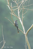 Drongo, Ashy @ Mt. Faber
