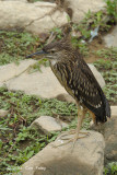 Heron, Black-crowned Night (juvenile) @ Bishan Park