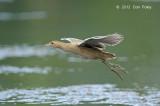 Watercock (female) @ Botanic Gardens