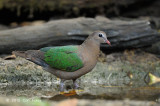 Dove, Emerald (female) @ Kaeng Krachan