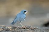 Robin, Siberian Blue (male) @ Kaeng Krachan