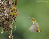 Sunbird, Olive-backed @ Sungei Buloh