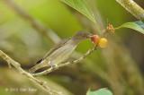 Flowerpecker, Brown-backed