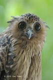 Owl, Buffy Fish (juvenile) @ MacRitchie