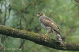 Goshawk, Crested (male) @ Japanese Gardens