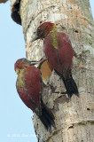 Woodpecker, Banded (pair)