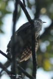 Cuckoo, Malaysian Hawk
