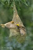 Weaver, Baya (male & female) @ Jln Gemala 2