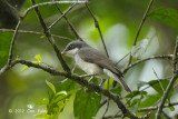 Woodshrike, Large (male)