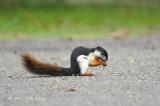 Squirrel, Prevost's @ Merapoh