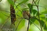 Flycatcher, Asian Paradise @ Merapoh